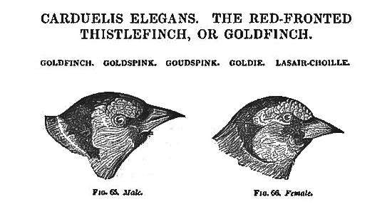 goldspink