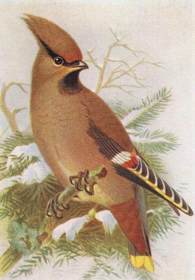 waxwing-bird-print-antique-bird-image