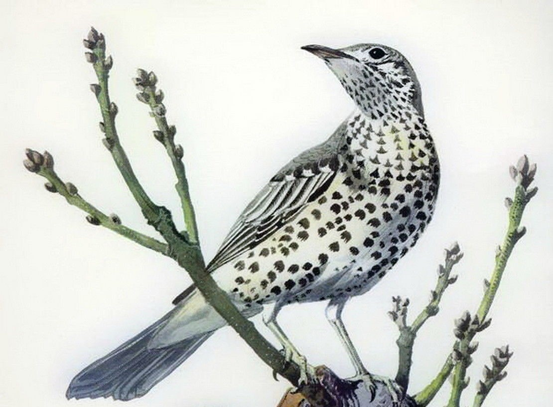 The Mistle Thrush Sings